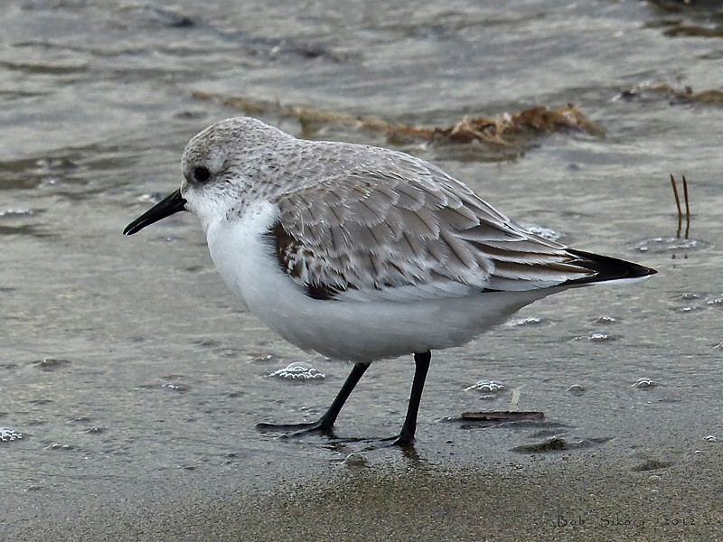 Sanderling, <em>Calibris alba</em> Crown Beach, Alameda, Alameda Co., CA  2012/12/14