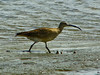 Whimbrel, <em>Numenius phaeopus</em> Elsie Roemer Bird Sanctuary, Alameda, Alameda Co., CA  2012/05/02