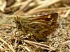 Sandhill Skipper, <em>Polites sabuleti</em> Elsie Roemer Bird Sanctuary; Alameda, Alameda Co., CA  2012/05/22