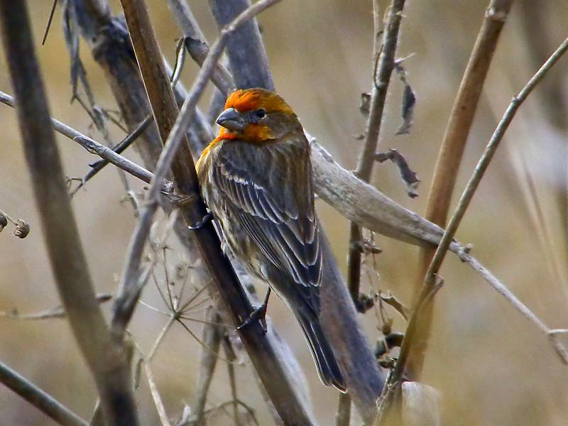 House Finch, <em>Carpodacus mexicanus</em> Roemer Bird Sanctuary, Alameda, Alameda Co., CA  2/10/2012