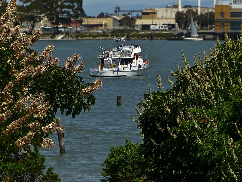 <em>Aesculus californica</em>, California Buckeye, native.  <em>Sapindaceae</em> (Maple family). Brooks Island, Contra Costa Co., CA 2012/05/06, jm2p1231