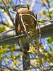 Cooper's Hawk, <em>Accipiter cooperii</em> Ballena Bay, Alameda, Alameda Co., CA  2012/03/23