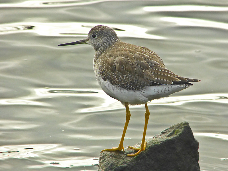 Greater Yellowlegs, <em>Tringa melanoleuca</em> San Leandro Channel, Alameda, Alameda Co., CA 2/10/2012
