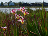 <em>Sparaxis grandiflora,</em> Cape Buttercup, waif, S. Africa.  <em>Iridaceae</em> (Iris family). San Leandro Channel, Alameda, Alameda Co., CA, 2013/03/23, jm2p1356