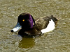Tufted Duck, <em>Athyra fuligula</em> Lake Merritt, Oakland, Alameda Co., CA 2012/03/28