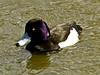 Tufted Duck, <em>Athyra fuligula</em> Lake Merritt, Oakland, Alameda Co., CA 2012/03/28