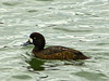 Greater Scaup, <em>Aythyra marila</em> Ballena Bay, Alameda, Alameda Co., CA 2012/03/21