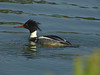 Red Breasted Merganser, <em>Mergus serrator</em> Aquatic Park, Berkeley, Alameda Co., CA 1/27/2012
