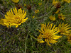 <em>Heterotheca grandiflora</em>, Telegraph Weed, native, endemic to CA.  <em>Asteraceae</em> (= <em>Compositae</em>, Sunflower family). Crown Beach, Alameda, Alameda Co., CA  2012/12/14  jm2p350