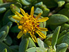 <em>Jaumea carnosa</em>, Marsh Jaumea, native.  <em>Asteraceae</em> (= <em>Compositae</em>, Sunflower family). Ballena Bay east side of entrance, Alameda, Alameda County, CA 2012/09/24  jm2p361