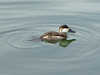 Ruddy Duck, <em>Oxyura jamacaiensis</em>, m. Ballena Bay, Alameda, Alameda Co., CA 1/2/2012