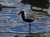 Black-bellied Plover, <em>Pluvialis squatarola</em> San Leandro Channel, Alameda, Alameda Co., CA 2012/03/30