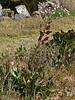 <em>Lepidium latifolium</em>, Perennial Pepperweed, Eurasia.  <em>Brassicaceae</em> (=<em>Cruciferae</em>, Mustard family).  Highly invasive. Crab Cove, Alameda, Alameda County, CA  2012/09/24   jm2p554