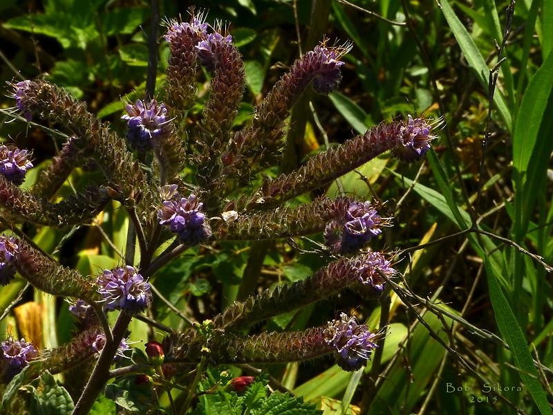 <em>Phacelia californica</em>, California Phacelia, Rock Phacelia, native.  <em>Boraginaceae</em> (Borage family). Brooks Island, Contra Costa Co., CA 2012/05/06,  jm2p492