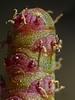 <em>Salicornia pacifica</em>, Pickleweed, native.  <em>Chenopodiaceae</em> (Goosefoot family). Crab Cove, Alameda, Alameda County, CA  2012/09/16  jm2p646