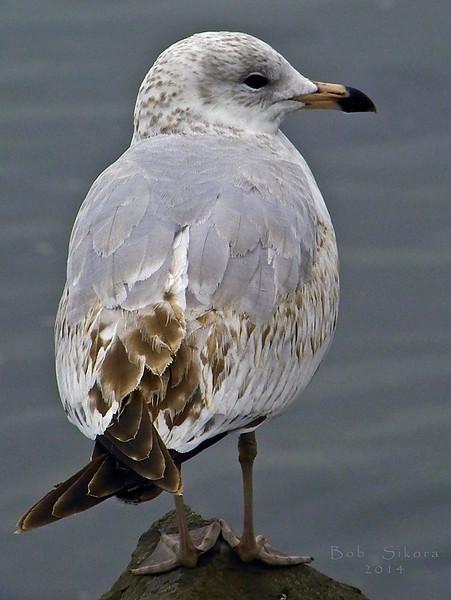 Ring-billed Gull, <em>Larus delawarensis</em>, (1st winter plumage) Crown Beach, Alameda, Alameda Co., CA, 2012/02/10