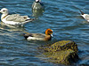 Eurasian Widgeon, <em>Anas penelope</em> Gullapalooza herring run Ferry Point, Richmond, Contra Costa Co., CA 2/27/2012