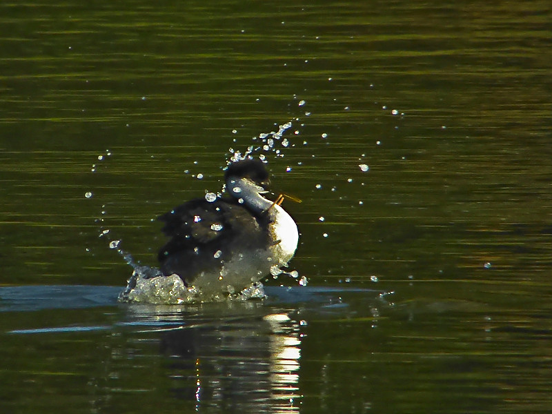 Western Grebe continues week-long struggle to become free of garbage.<br /> Aquatic Park, Berkeley, Alameda Co., CA 1/27/2012