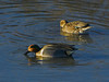 Green-winged Teal, <em>Anas crecca</em> San Leandro Bay, Oakland, Alameda Co., CA 1/16/2012