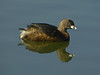 Pied-billed Grebe, Podilymbus podiceps<br /> Aquatic Park, Berkeley, Alameda Co., CA 1/25/12