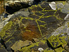 <em>Acarospora socialis</em>, Bright Cobblestone Lichen Brooks Island, Contra Costa Co., CA 2012/05/06