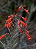 <em>Epilobium canum ssp. canum</em>, California fuchsia, Zauschneria, native.  <em>Onagraceae</em> (Evening-primrose family). Crab Cove, Crown Memorial State Beach, Alameda, Alameda Co., CA, 2012/10/11, jm2p942.