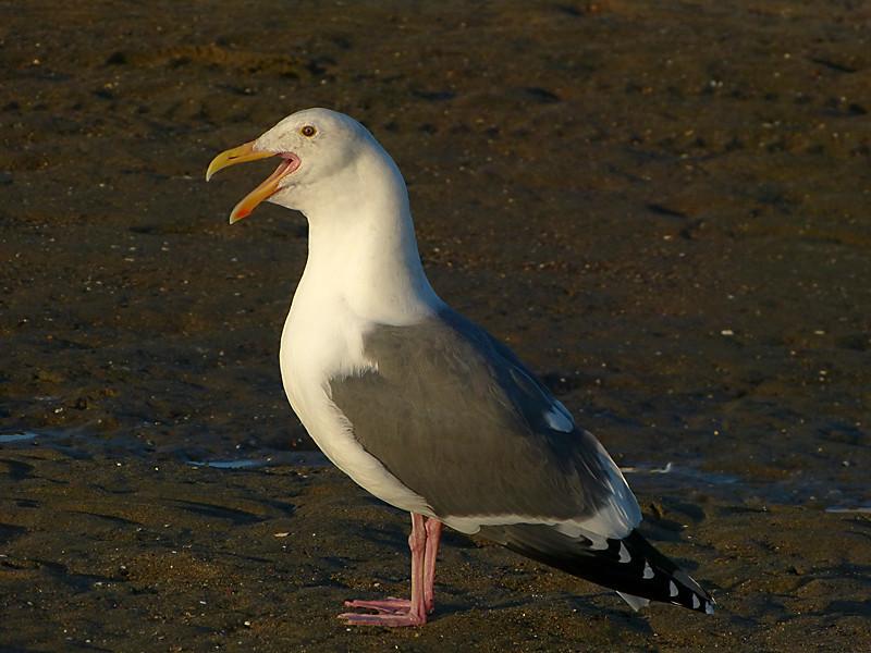 Western Gull, <em>Larus occidentalis</em> Crown Beach, Alameda, Alameda Co., CA 12/13/2011