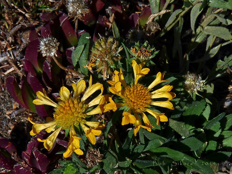 <em>Gaillardia aristata</em>,  Indian Blanket, central N. America.  <em>Asteraceae</em> (= <em>Compositae</em>, Sunflower family). Crown Beach, Alameda, Alameda Co., CA, 2014/10/02, JM2P(not shown).