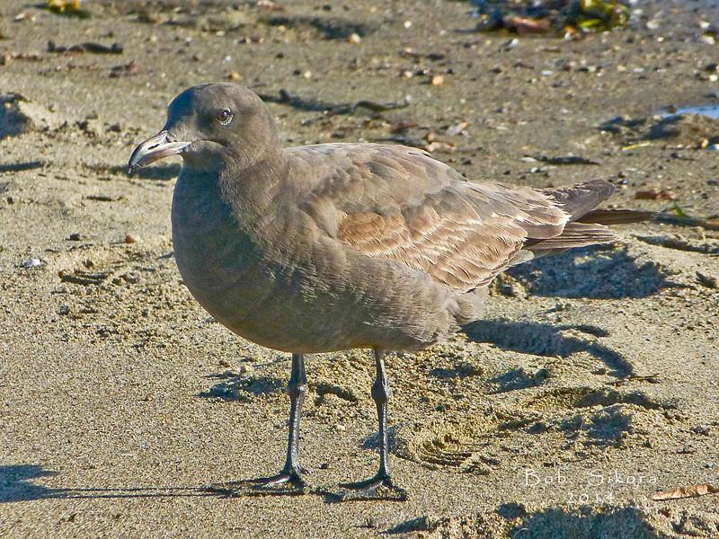 Heermann's Gull, <em>Larus heermanni</em> Crown Beach, Alameda, Alameda Co., CA, 2011/11/30