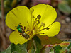 <em>Camissonia cheiranthifolia ssp. cheiranthifolia</em>, Beach Primrose or Suncup <em>Agapostemon texanum</em> Sweat Bee Crown Beach, Alameda, Alameda Co., CA, 2014/03/24