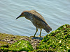Black-crowned Night-heron, <em>Nycticorax nycticorax</em> Crown Beach, Alameda, Alameda Co., CA 2012/05/11