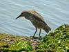 Black-crowned Night-heron, <em>Nycticorax nycticorax</em> Crown Beach, Alameda, Alameda Co., CA 2012/05/11