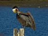 Brown Pelican, <em>Pelecanus occidentalis</em>, acting silly. ( I ) San Leandro Bay, Oakland, Alameda Co., CA 1/16/2012