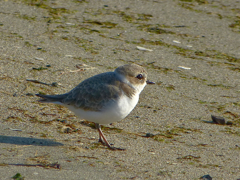 Snowy Plover, <em>Charadrius alexandrius</em> Crab Cove, Crown Memorial State Beach, South Shore, Alameda, Alameda Co., CA 12/13/2011