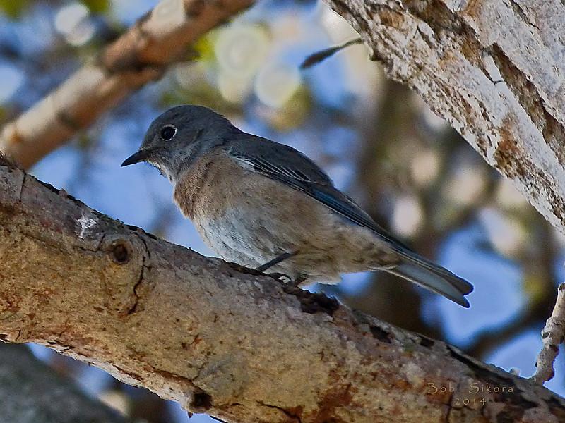 Western Bluebird, <em>Sialia mexicana</em>, f. Ballena Bay, Alameda, Alameda Co., CA, 2012/10/17