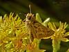 <em>Ericameria ericoides</em>, California Goldenbush Sandhill Skipper, <em>Polites sabuleti</em> Elsie Roemer Sanctuary, Crown Beach Regional Park, Alameda, Alameda Co., CA, 2014/08/30.