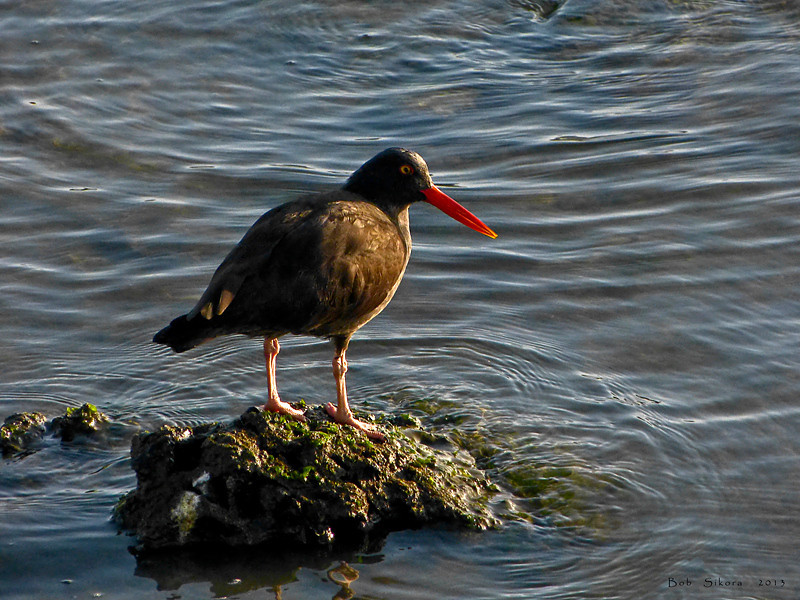 Black Oystercatcher, Haematopus bachmani<br /> Crown Beach, Alameda, Alameda Co., CA  2011/12/26