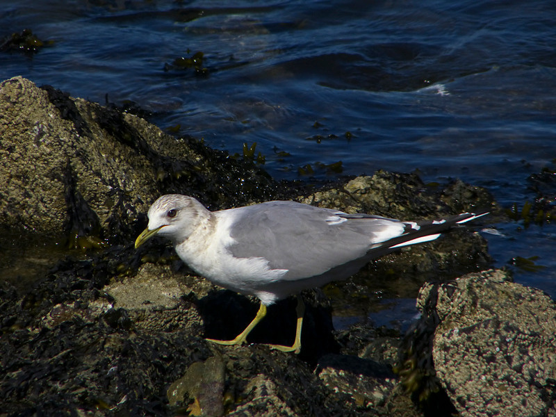 Mew Gull, <em>Larus canus</em> Gullapalooza herring run Ferry Point, Richmond, Contra Costa Co., CA 2/27/2012