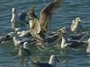 Glaucous-winged Gulls, <em>Larus glaucescens</em> Gullapalooza herring run Ferry Point, Richmond, Contra Costa Co., CA 2/27/2012