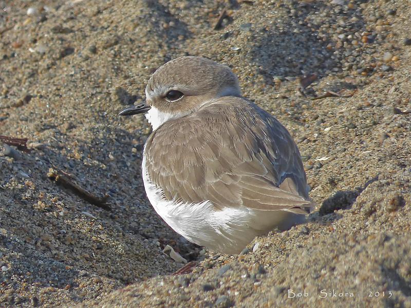 Snowy Plover, <em>Charadrius alexandrius</em> Crown Beach, Alameda, Alameda Co., CA, 2013/12/30