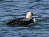 Pacific Loon, <em>Gavia pacifica</em> Marina Bay, Richmond, Contra Costa Co., CA  11/26/2011