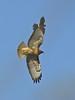 American Kestrel, <em>Falco sparverius</em> mobbing Red-tailed Hawk, <em>Buteo jamaicensis</em> Eastshore State Park, Berkeley, Alameda Co., CA 2/15/2012
