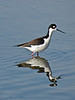 Black-necked Stilt, <em>Himanotopus  mexicanus</em> Ballena Bay, Alameda, Alameda Co., CA, 2013/12/30