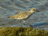 Black-bellied Plover, <em>Pluvialis squatarola</em> Crown Beach, Alameda, Alameda Co., CA  2/3/2012