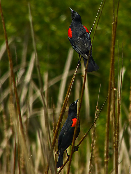 """Bicolored Blackbird,"" <em>Agelaius phoeniceus ssp.</em> Brooks Island, Richmond, Contra Costa Co., CA 2012/05/06"