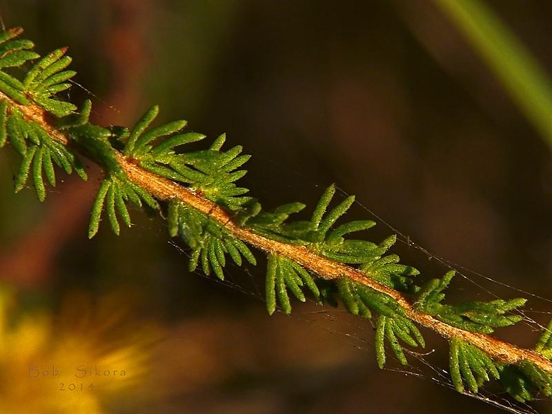 <em>Ericameria ericoides</em>, California Goldenbush, native.  <em>Asteraceae</em> (= <em>Compositae</em>, Sunflower family). Elsie Roemer Sanctuary, Crown Beach Regional Park, Alameda, Alameda Co. 2014/08/30, CA, jm2p308.