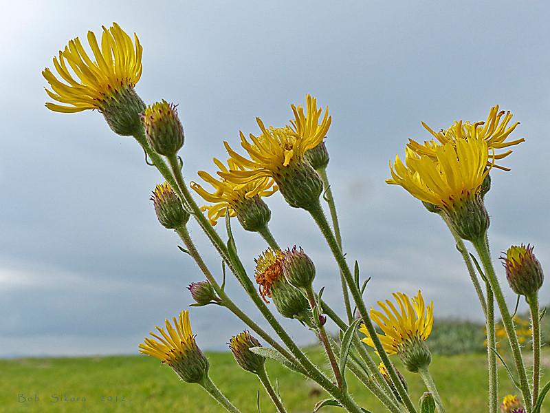 <em>Heterotheca grandiflora</em>, Telegraph Weed, native, endemic to CA.  <em>Asteraceae</em> (= <em>Compositae</em>, Sunflower family). Crown Beach, Alameda, Alameda Co., CA  2012/12/14  jm2p350
