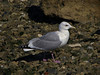 Thayer's Gull, <em>Larus thayeri</em> Gullapalooza herring run Ferry Point, Richmond, Contra Costa Co., CA 2/27/2012