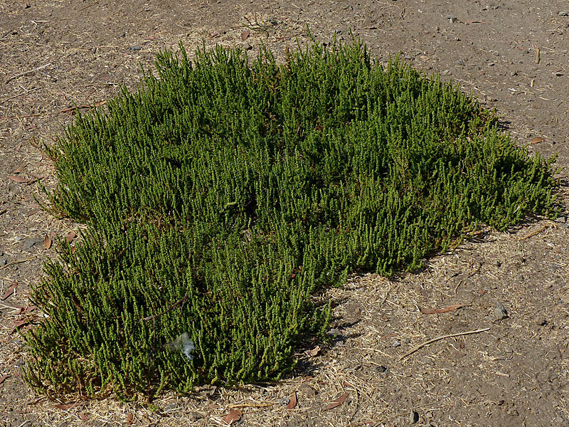 <em>Dysphania multifida (ex Chenopodium multifidum)</em>, Cutleaf Goosefoot, S. America.  <em>Chenopodiaceae</em> (Goosefoot family). Crab Cove, Crown Memorial State Beach, South Shore, Alameda, Alameda County, CA 2012/09/16  jm2p642