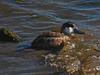 Ruddy Duck, <em>Oxyura jamaicensis</em> San Leandro Channel; Alameda, Alameda Co., CA, 2015/01/21